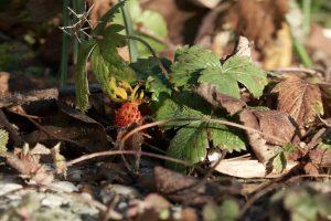 Erdbeeren im Dezember