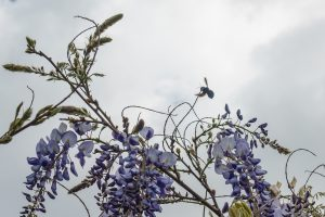 Xylocopa –  Die Holzbiene